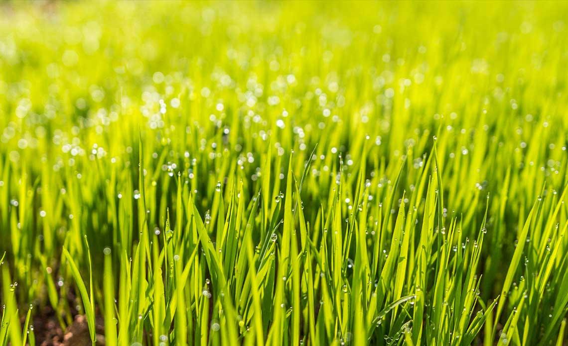 Grass | Goodwin Landscape Naples, Florida