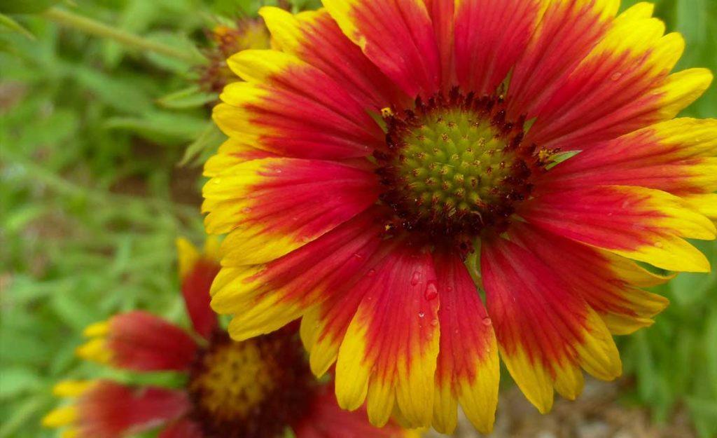 Blanket Flower | Goodwin Landscape Naples, Florida