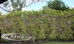 Ficus Disease | Goodwin Landscape Naples, Florida