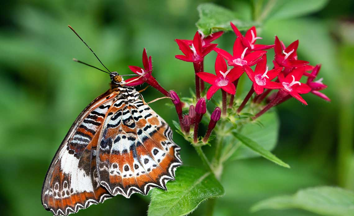 Pentas with a Butterfly | Goodwin Landscape Naples, Florida